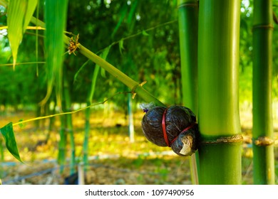 Bamboo species for consumption, bamboo grafting,Bamboo graft method.
