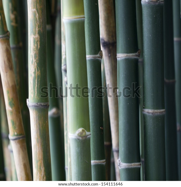 Bamboo sprouts forest, background
