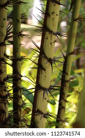 Bamboo stalks with spikes of the Bambusa bambos species, also known as the giant thorny bamboo