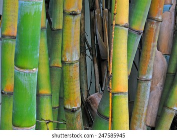 Bamboo stalks tampa florida bamboo grass family blossoming perennial background