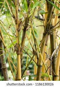 Bamboo stems are in the garden.