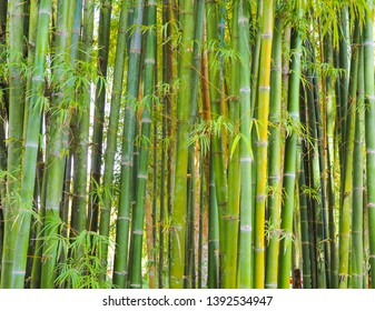 Bamboo tree background in green tone