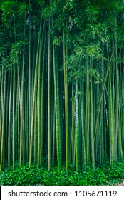 Bamboo tree forest