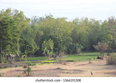 Bamboo Tree Forest in East Java Indonesia