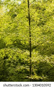 Bamboo tree in natural forest China