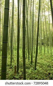 Bamboo trees, forest in Japan