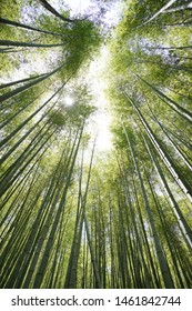 Bamboo trees, Bamboo forest in spring
