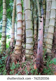 Bamboo trees with bamboo shoot