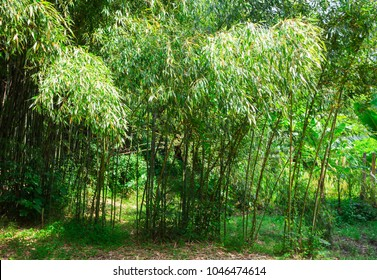 Bamboo in the wild jungle of india