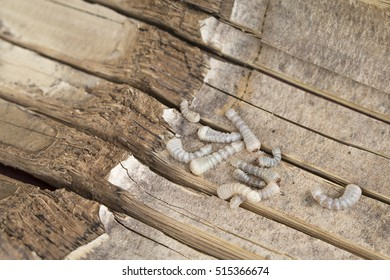 Bamboo worm ,Chrysalis or bamboo insect.