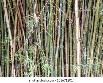 Bambu forest trees in Brazil