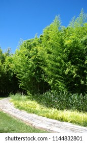 Bambu green in a garden