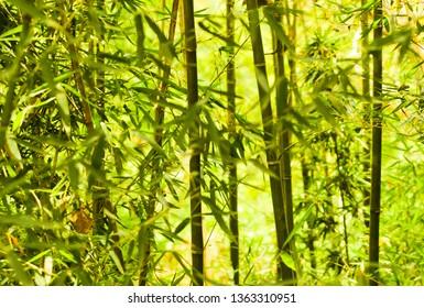 Bambu trees green