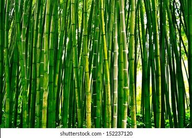 Bambusoideae bamboo forest