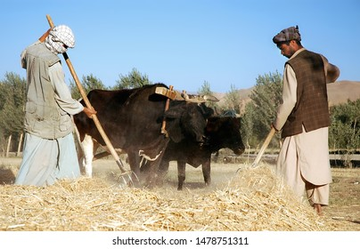 Bamyan (Bamiyan) / Central Afghanistan - 18 Aug 2005: Farmers working with oxen while threshing on a farm in Bamyan (Bamiyan). Local farmers, farm, cattle, threshing, Bamyan (Bamiyan) Afghanistan.