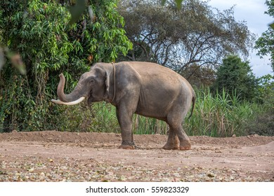 Ban Ta Klang Elephant tusks pretty