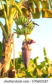 Banana blossom , Agricultural plantation at Chantaburi Thailand.