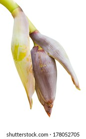 banana blossom and bananas bunch isolated on white background, include clipping path.
