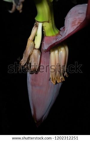 Banana Blossom Banana Flower Night Stock Photo Edit Now 1202312251