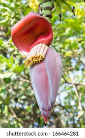 banana blossom on the tree