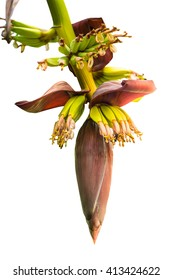 Banana blossom,Banana flower eaten as delicious vegetable on white background