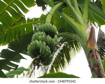The banana bunch is on the banana tree in garden