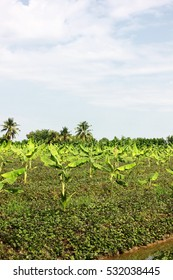 banana , coconut  plantation with blue sky background in tropical