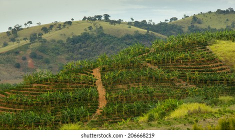 Banana and Coffee plantation in the same land of south-east Brazil