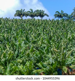 Banana field in Martinique