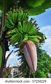 Banana with Banana Flower