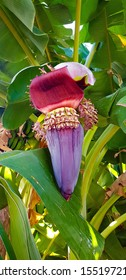 Banana flower among green leaves close-up; exotic purple flower of the middle East