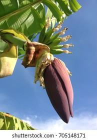 banana flower on blue sky background