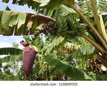 banana flower on Samosir island
