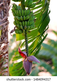 Banana flower - The teardrop-shaped purple flower at the end of the banana fruit cluster in a banana tree is called as banana heart.