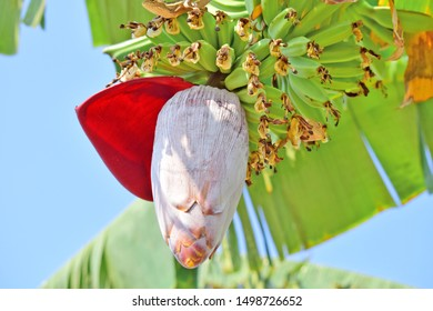 Banana flower - The teardrop-shaped purple flower at the end of the banana fruit cluster in a banana tree is called as banana heart