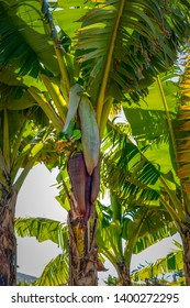 Banana Fruit, growing on a Banana plant on St. Kitts Island in the Caribbean