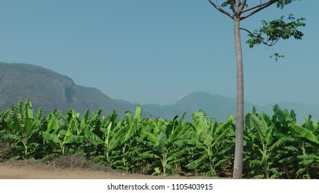 Banana Garden With Mountain Background At Coimbatore Rural Area, Tamil Nadu, India