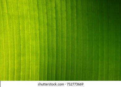banana green leaf background.