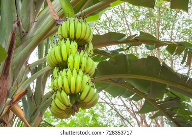 Banana are grown out big result.