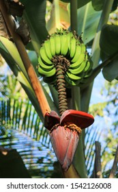 A banana heart with a small bee and a beautiful banana bunch in a mountain at the Atlantic forest in the historic city of Paraty, Rio de Janeiro, world heritage in Brazil