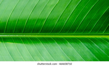 Banana leaf background texture, green texture