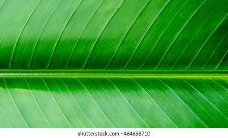 Banana leaf background texture, green texture