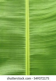 Banana leaf background textured, Banana leaf with drop of water