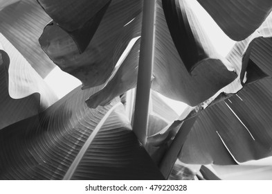 Banana leaf backlit Sun,Abstract background of A Lot Green leaves surface black and white
