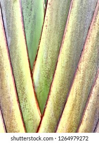 Banana leaf branches of banana trees have a coler green and brown