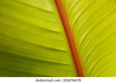 Banana leaf, green banana leaf textured background.