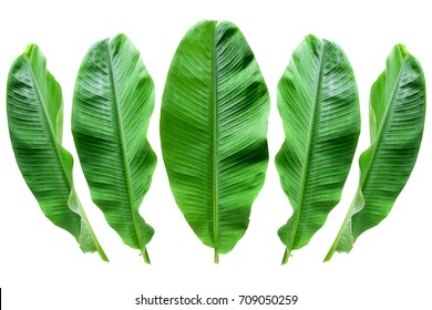 Banana leaf isolated  background