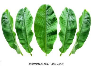 Bananenblatt einzeln auf
