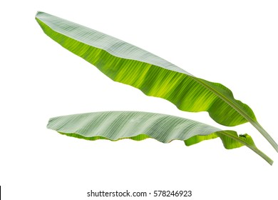 banana leaf isolated on white background, File contains a clipping path