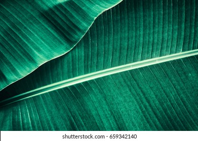 banana leaf, large dark green tropical foliage texture background